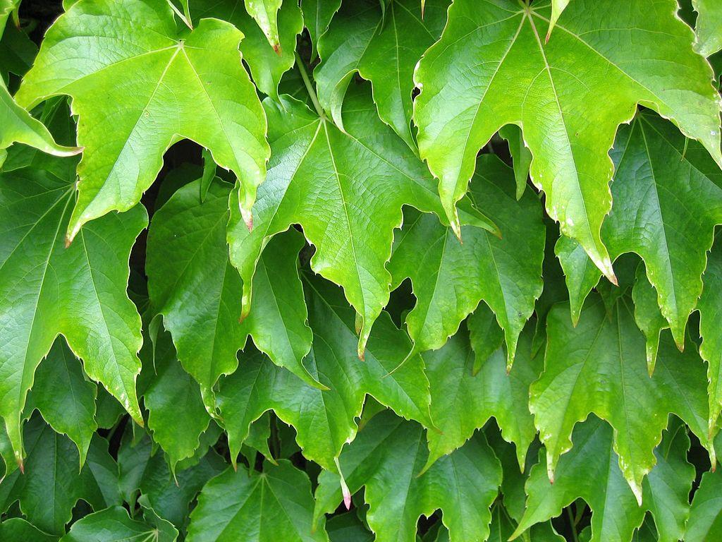 Plant leaves